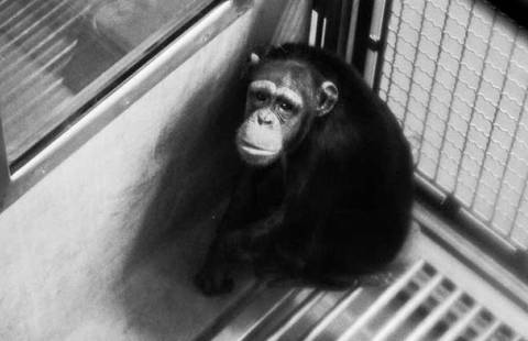 A chimp in one of the Immuno cages where they were kept for years