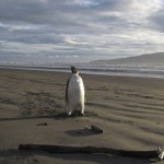 Happy Feet on Peka Peka Beach in New Zealand - 3,000 miles north of its native Antarctica
