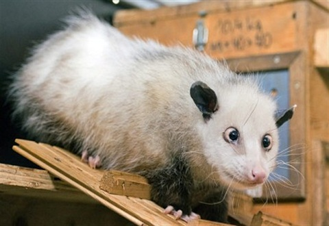 Heidi the opossum at Leipzig Zoo