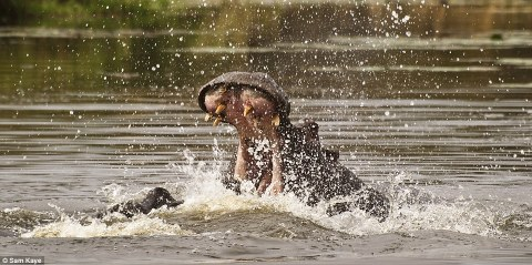 Sam captures this image of a  hippo stretching its jaws in a South African lake. Judges of the photos were stunned when they found out Sam's age