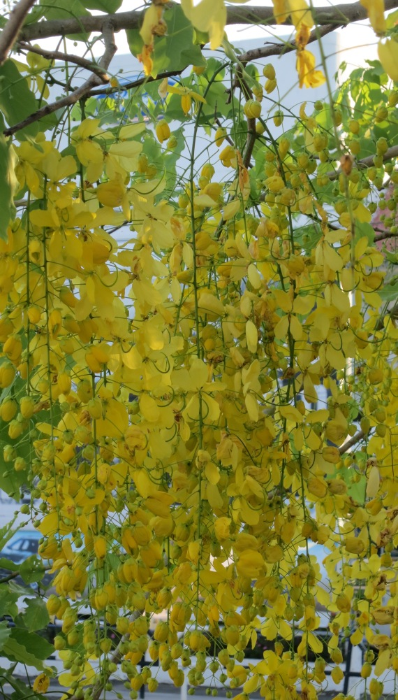 The golden showers of the Cassia fistula