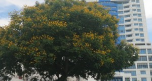 The yellow flame (Peltophorum pterocarpum ) tree behind the Hong Leong Bank