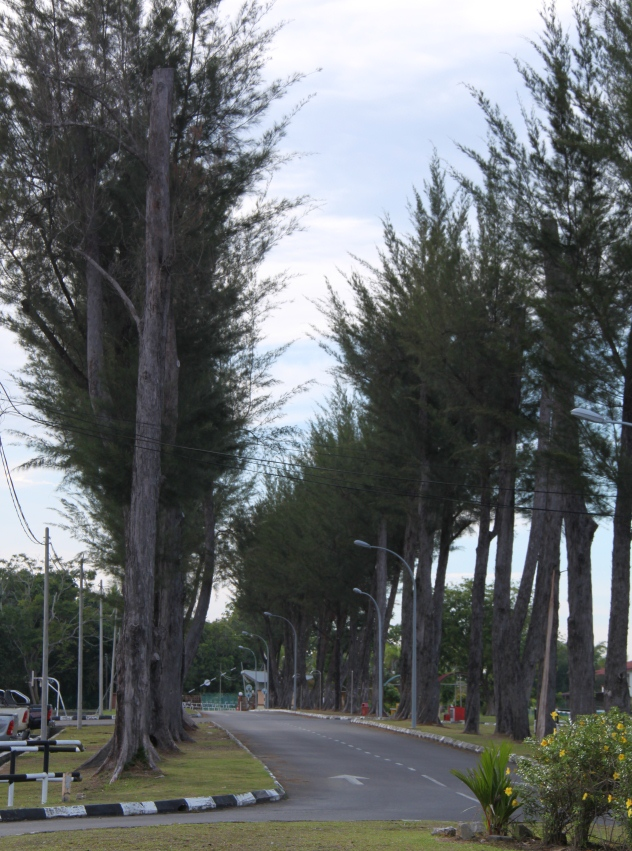 The road lined with casuarina trees