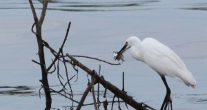 Patience pays off for the egret