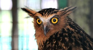 Brown fish owl with piercing eyes