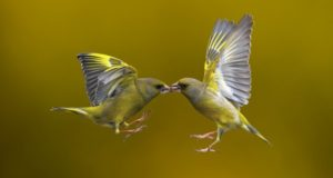 Two birds in midair (Stock Photo)
