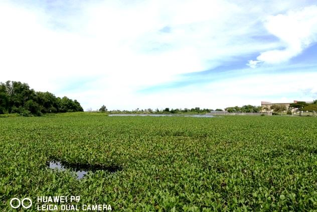 The huge carpet of aquatic plants