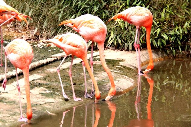 Lovely flamingos