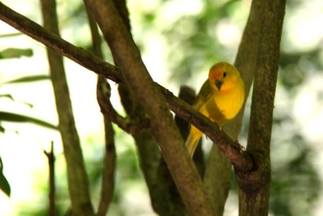 The Saffron Finch