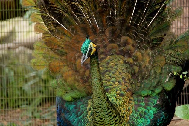 Beautiful peafowl