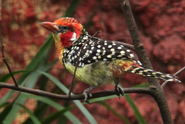 Cut-throat finch 2