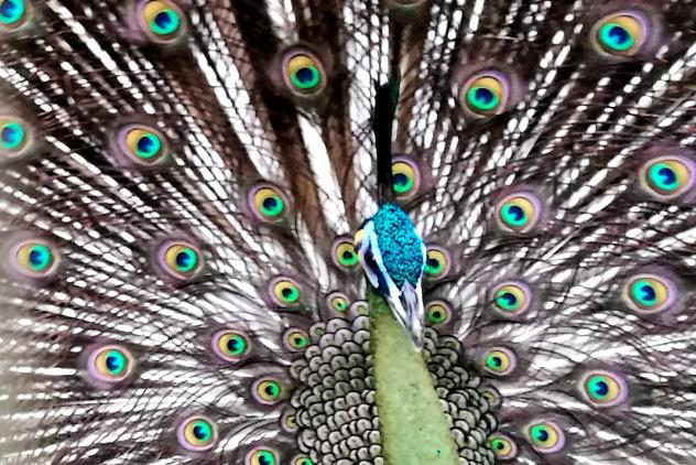 Masjectic peacock