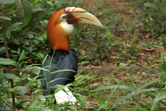 Papuan or New Guinea Hornbill