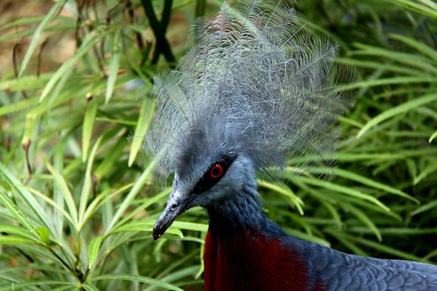 Scheepmaker's Crowned Pigeon 2