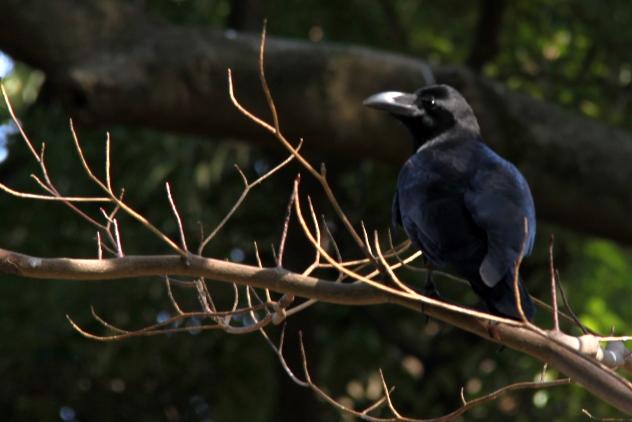 A crow?