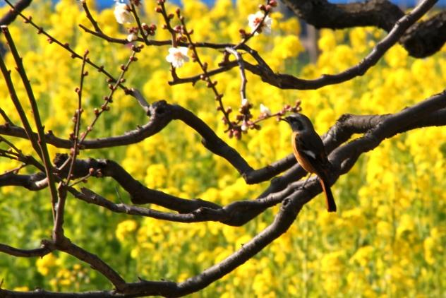 A bird on a plum blossom tree