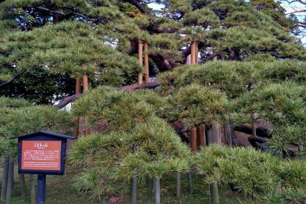 The 300-year-old pine