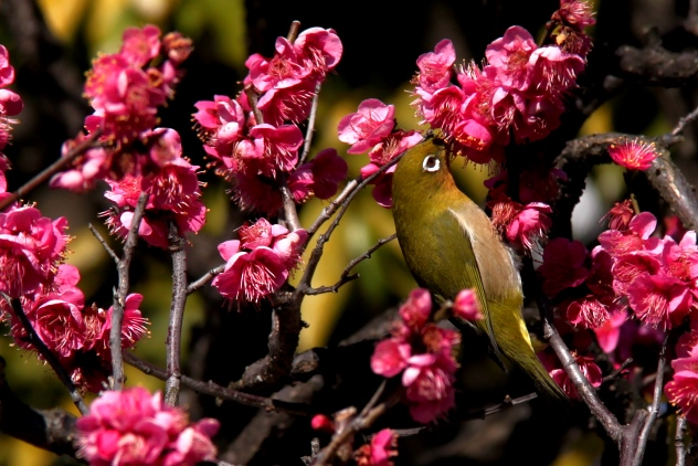 Lovely bird amidst the plum blossom flowers