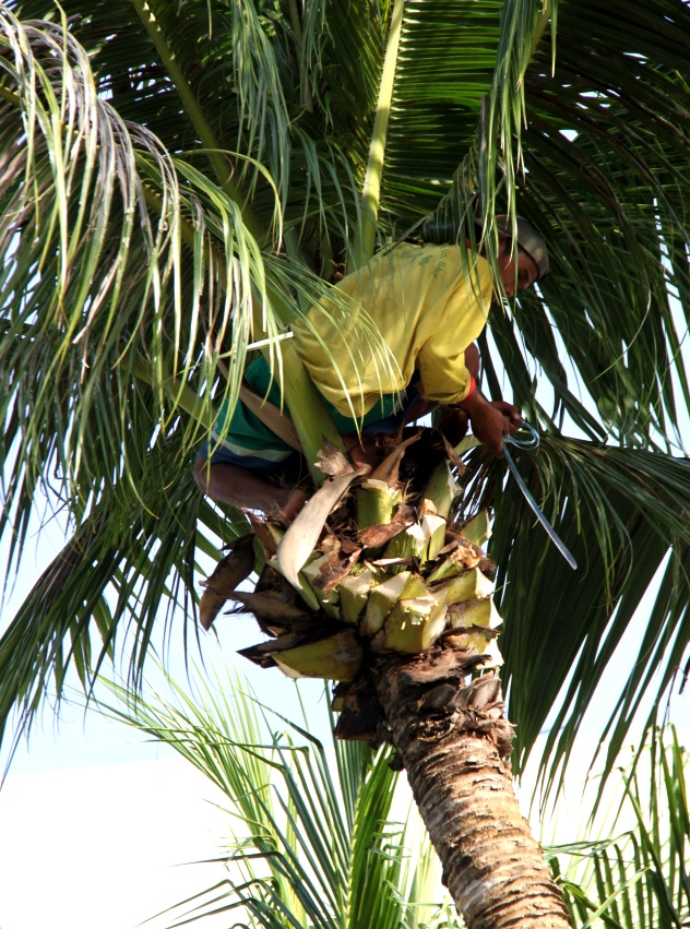 A worker perched high up in the tree